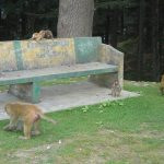 india-shimla-bench-with-monkeys