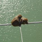 india-rishikesh-monkeys