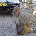 india-shimla-monkey-boss
