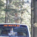 india-shimla-monkey-on-car