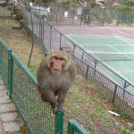 india-kasauli-aggressive-monkey