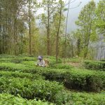 india-darjeeling-tea-plantation