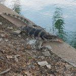 thailand-bangkok-monitor-lizard